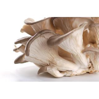 -Pilze Austernpilze